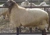 25800 تومان؛ نرخ هر کیلو گوسفند زنده در مراکز عرضه بهداشتی