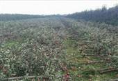 باغ های سیب به زیر برف رفت / محصولات باغداران در حال از بین رفتن است