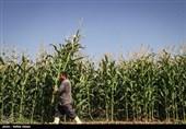 رشد کیفیت ذرت با اجرای طرح قیمت تضمینی در بورس کالا