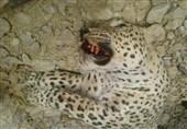 پنهانکاری علت مرگ پلنگ باشت پس از گذشت یک ماه + تصاویر