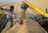22 هزار و 467 تن گندم تضمینی از کشاورزان یزد خریداری شد
