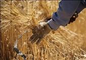 50 درصد کشاورزان اصفهان در انتظار پرداخت مطالبات گندم هستند