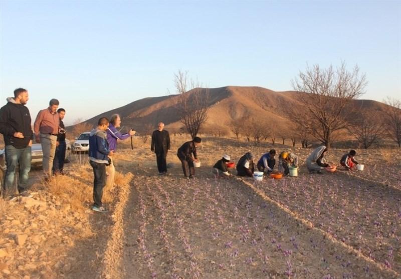 طرح کشت زعفران در شهرستان نیر اجرا میشود