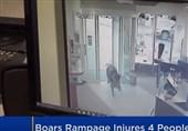 حمله گرازها به بانک و داروخانه+فیلم