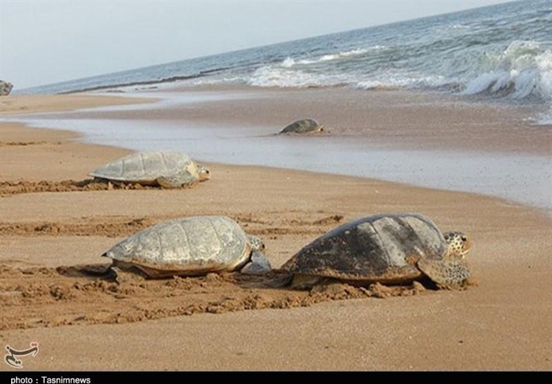 لاکپشتها در دنیا به دنبال سواحل پاک برای تخمگذاری هستند