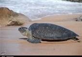 در سواحل هنگام به ویژه در روزهای اول بهار و اردیبهشت لاکپشتها برای تخمگذاری به ساحل میآیند