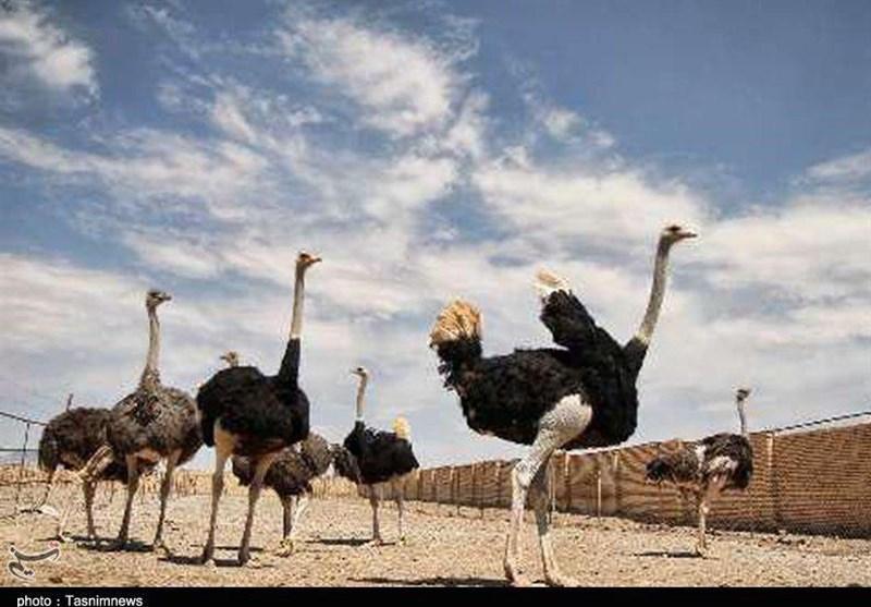 217 تن گوشت شترمرغ در استان خراسان جنوبی تولید شده است
