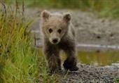 حال عمومی توله خرس تصادفی جاده چالوس رضایتبخش نیست + فیلم