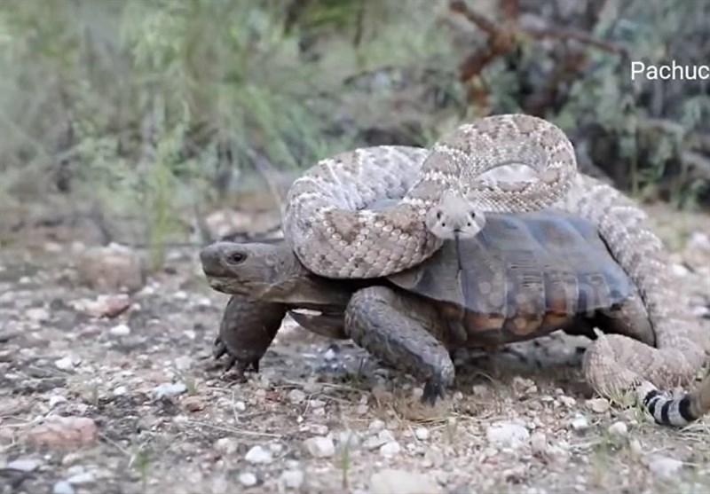 لاکپشت سواری یک مار زنگی+فیلم