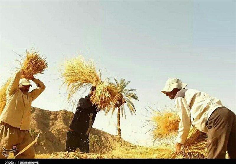 واردات بیرویه و قاچاق تیشه بهریشه برنج ایرانی میزند