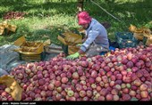 بیش از 43 هزار تن سیب از باغات استان سمنان برداشت شد