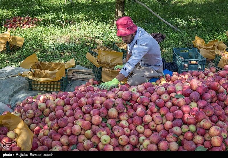 رکورد تولید سیب در دست باغداران آذربایجان غربی
