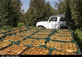 وزارت جهاد کشاورزی و صنعت و معدن در خرید سیب باغداران اهری کوتاهی کردند