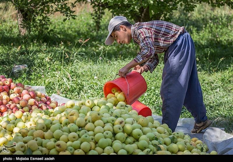35 هزار تن سیب باغداران آذربایجان غربی بهصورت تضمینی خریداری شد