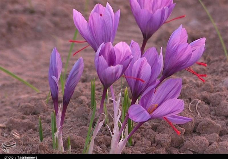 14 کارخانه فرآوری زعفران در خراسان جنوبی فعال است