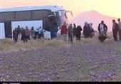 حضور گردشگران آلمانی در مزارع زعفران قاین به روایت تصویر