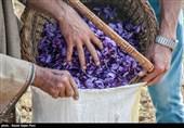 برداشت زعفران در کشمیر