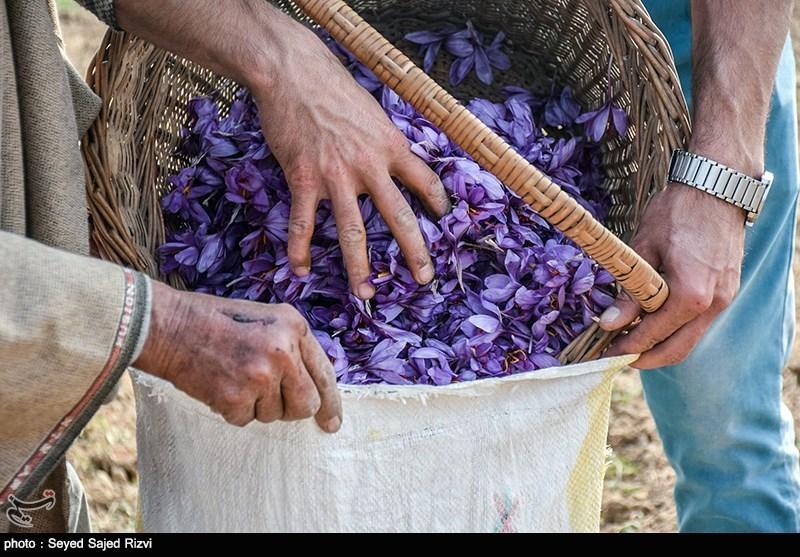 1300 کیلوگرم زعفران در خراسان رضوی خریداری شد
