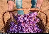 جزئیات جشنواره گردشگری گیاهان دارویی در دیار گرانترین ادویه جهان