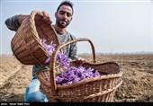 70 درصد مبلغ خرید حمایتی زعفران به کشاورزان خراسان رضوی پرداخت شد