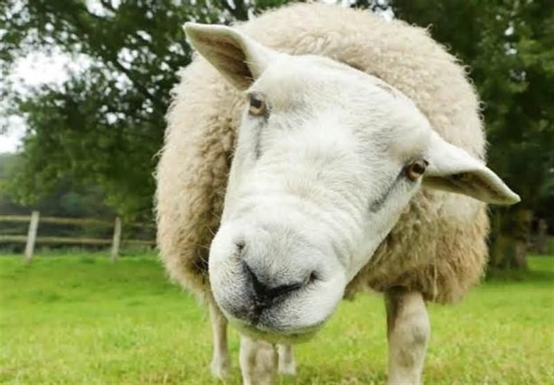 پرواز گوسفندهای رومانی به ایران