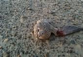 شکارچیان پرندگان کمیاب در هرمزگان به دام پلیس افتادند
