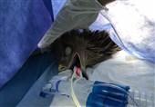 نخستین عمل جراحی عقاب در ایران نتیجه رضایتبخشی دربرداشت