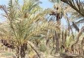 گلوی تشنه نخلستانهای شادگان در انتظار آب/ زمینهای کشاورزی هر روز خشکتر میشود