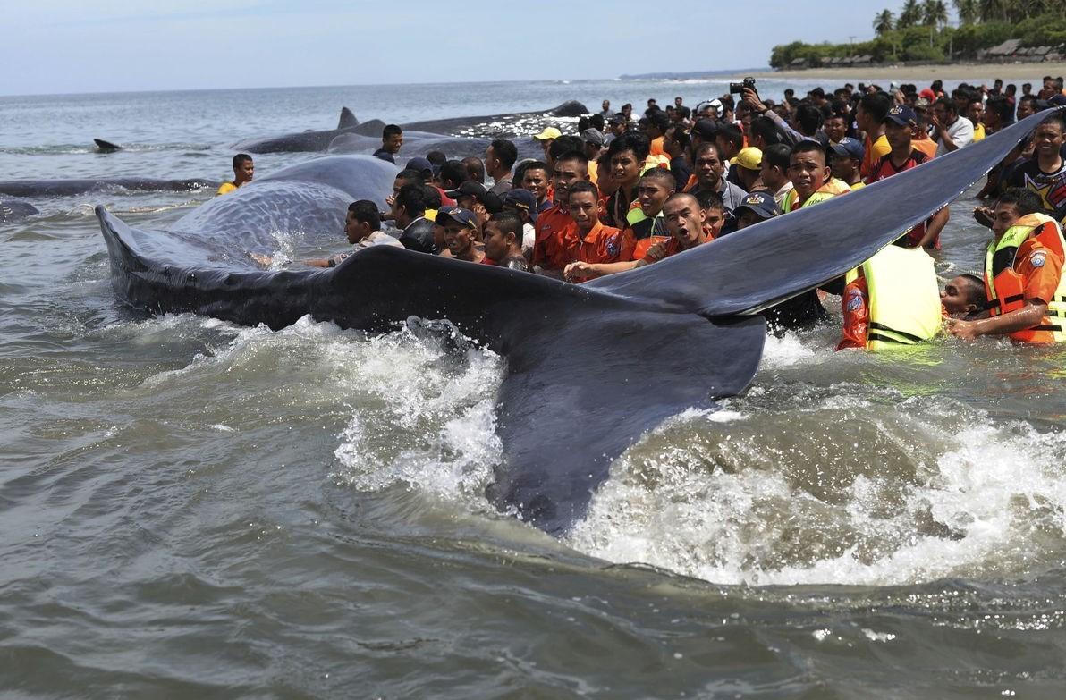 اقدام به خودکشی 10 نهنگ عنبر در سواحل اندونزی