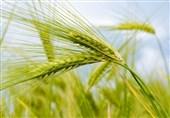 میزان تولید گندم در اندیمشک به 80 هزار تن رسید