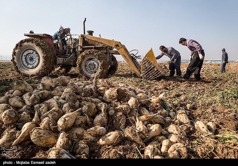 رنج دسترنج؛ چغندرقند کشاورزان لرستانی بدون مشتری ماند