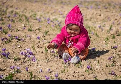 برداشت زعفران در فارس در سایه بی آبی