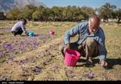 برداشت زعفران - شیراز