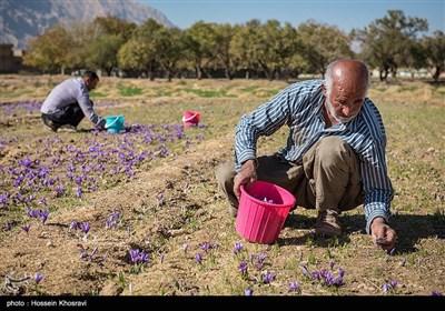 شهرستان استهبان با تولید 85 درصد زعفران استان فارس پیشرو و یکی از الگوهای کشت زعفران در استان فارس به شمار میرود که میتوان با برنامهریزی توسعه و کاشت این گیاه کم مصرف را در برنامه قرار داد.