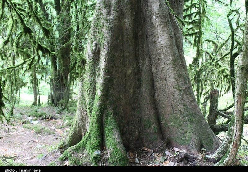 بهرهبرداری از جنگلهای طبیعی در استان گیلان متوقف شد
