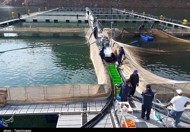 تولید 4000 تن ماهی پرورشی در استان بوشهر هدفگذاری امسال است + تصاویر