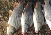 علت قطعی مرگ ماهیان سد گلابر اعلام شد