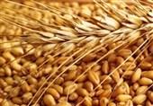 122هزار تن گندم مازاد از کشاورزان لرستانی خریداری شد