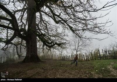 امیر 8 ساله مشغول بازی زیر درخت چندصد ساله بلوط در روستای شامیلرزان است. اهالی روستا احترام زیادی برای این درخت قائل هستند و از محوطه آن برای مراسم های مذهبی مانند مراسم تاسوعا و عاشورا استفاده میکنند