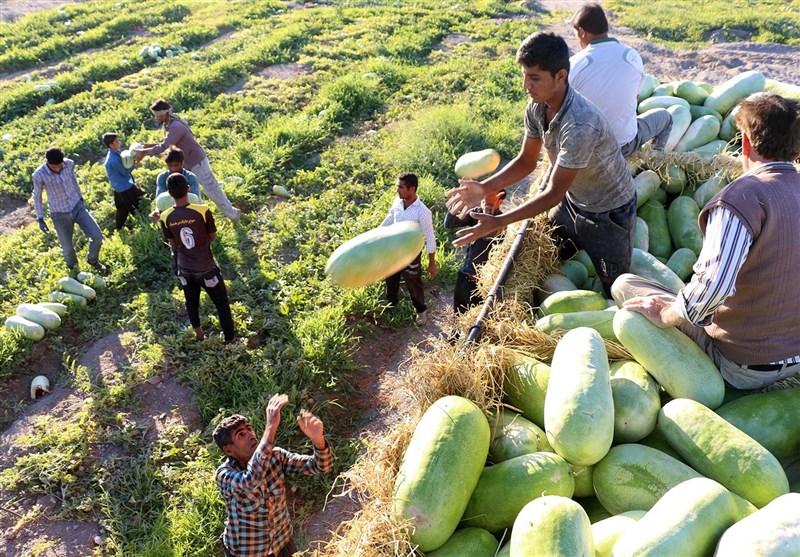 برداشت هندوانه هشتبندی میناب