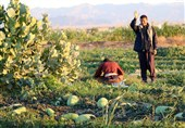 حال و هوایی این روزهای مزارع هندوانه شب یلدای ایرانیان+تصاویر