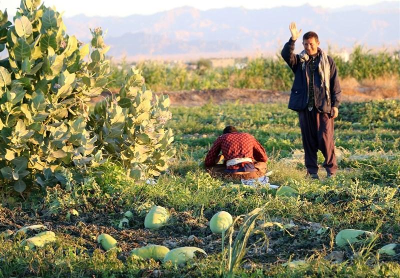 حال و هوای این روزهای مزارع هندوانه شب یلدای ایرانیان+تصاویر