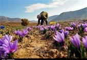کشت زعفران در اولویت اشتغال روستاییان لرستان قرار میگیرد
