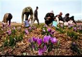 میزان تولید زعفران مرغوب در استان اردبیل از مرز 100 کیلوگرم گذشت