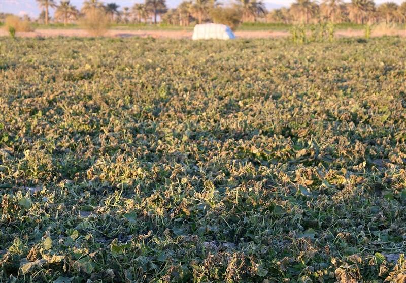 جهاد کشاورزی رباطکریم از کشت محصولات آببر جلوگیری کند