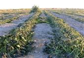 4.5 میلیون تن انواع محصولات کشاورزی در اردبیل تولید میشود