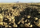 لرستان| 1600 هکتار چغندر پاییزه در کوهدشت کشت شد