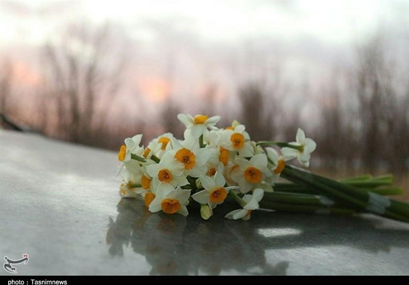 سمنان| چهارمین جشنواره گل نرگس برگزار میشود