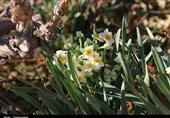 750 میلیون تومان اعتبار برای ترویج کشت گل نرگس به شهرستان خوسف اختصاص یافت