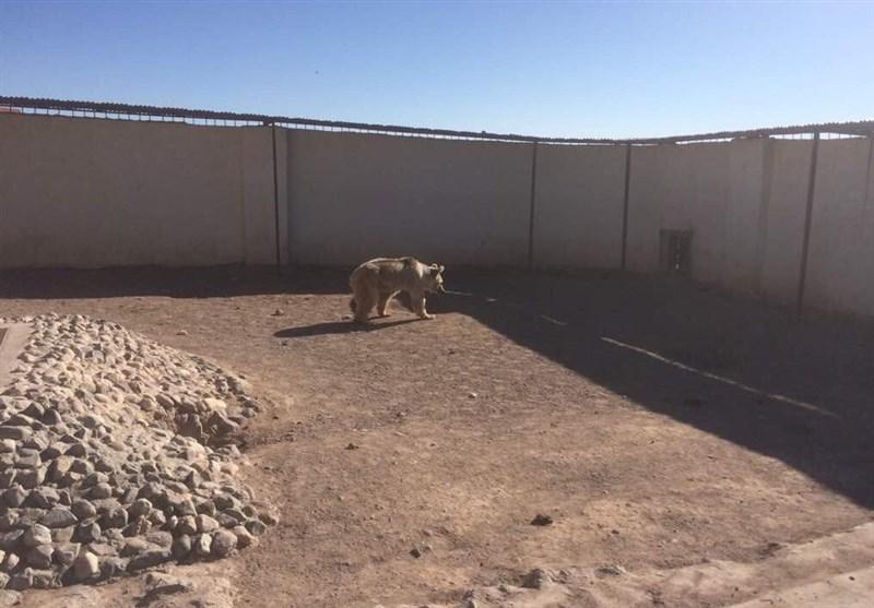 خرس نحیف از باغ وحش گراش نجات یافت + تصاویر